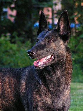 belgischer schäferhund malinois mix welpen